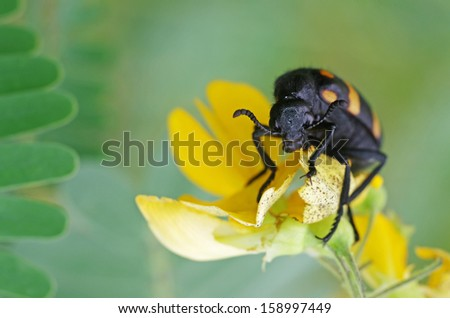 blister beetle is eating the yellow flower - stock photo
