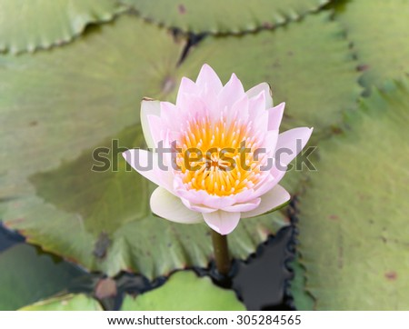 Blomming and bud Lotus Flowers or water lily