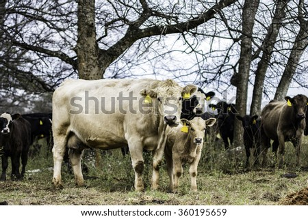 Blond commercial cow and calf pair in a herd of cows - stock photo