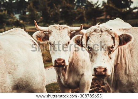 Blonde d'Aquitaine cows in the meadow  - stock photo
