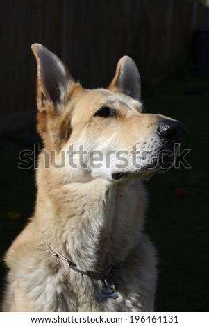 Blonde haired German Shepherd dog - stock photo