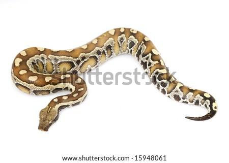 Blood Python (Python curtus) - stock photo