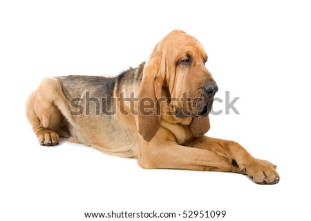 bloodhound ,also known as St. Hubert hound and Sleuth Hound isolated on a white background