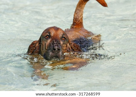 Bloodhound basset hound mix breed dog swimming in the pool - stock photo