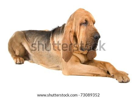 Bloodhound in front of a white background - stock photo
