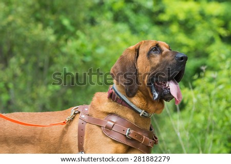 Bloodhound preparing to track wearing a leather harness. - stock photo