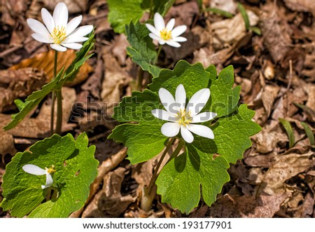 Bloodroot flower(Sanguinaria Canadensis) - stock photo