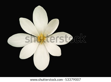 Bloodroot (Sanguinaria canadensis) flower isolated on black - stock photo