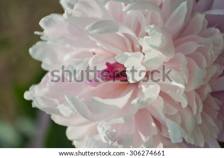 bloom beautiful flowers peonies