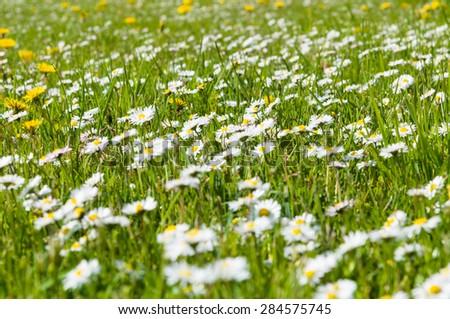 Bloom daisy flowers meadow on springtime - stock photo
