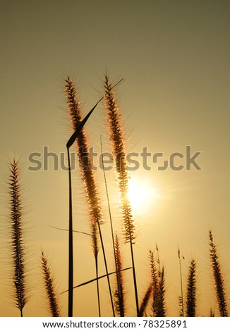 bloom  grass and sunset - stock photo