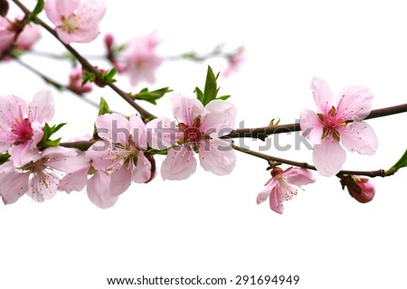 Bloom in the peach blossom