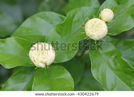 Bloom Jasmine, Jasmine stacked, Flowers that have a wedge fragrant much as symbols represent the purity in the mother's day - stock photo