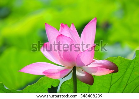 bloom lotus flower and green leaves background