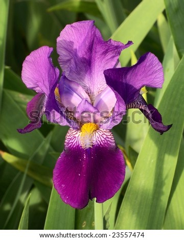 bloom of blue iris