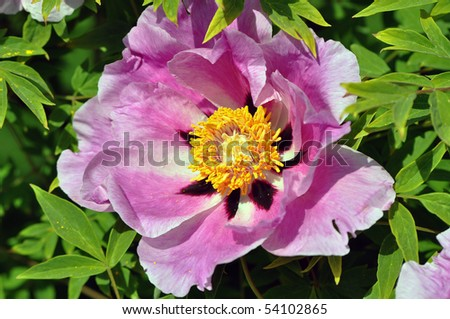 bloom of paeonia - stock photo