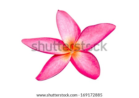 Bloom pink frangipani flowers isolate white backgroung with clipping path
