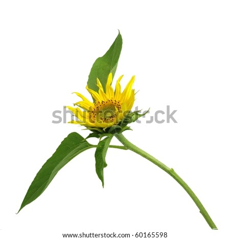 bloom sunflower on white background - stock photo