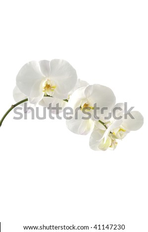 Bloom white orchid
