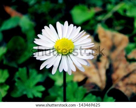 Bloomed Daisy - stock photo