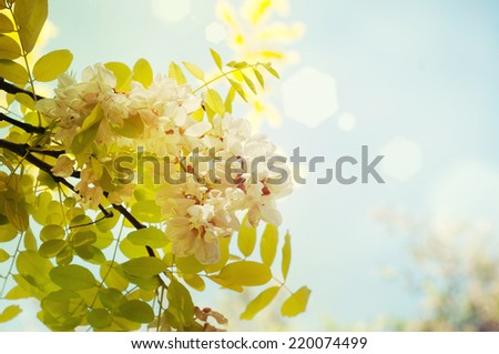 Blooming acacia - stock photo