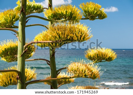 Blooming Agave plant with Mediterranean sea landscape background - stock photo