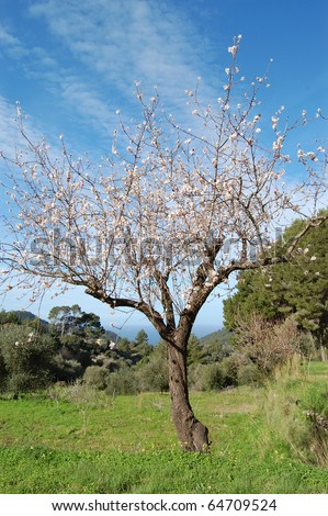 blooming almond tree - stock photo
