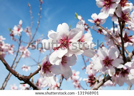 Blooming almond tree flowers with clear blue sky background. Pink and white flower close-up. Valencia, Spain.