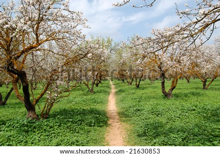 Blooming almond trees in a park. Nature background.
