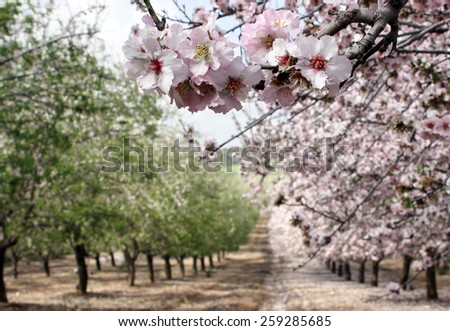 Blooming almond trees in the garden - stock photo