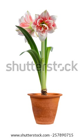 blooming amaryllis in ceramic pot isolated on white background - stock photo