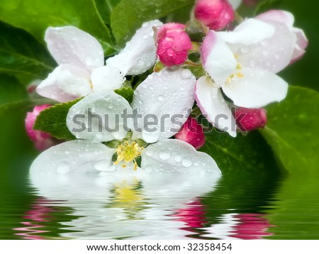 Blooming apple - stock photo