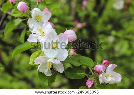 Blooming apple branch in spring orchard - stock photo