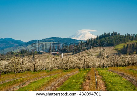 Blooming apple orchards and Mount Adams, Hood River Valley, Oregon - stock photo