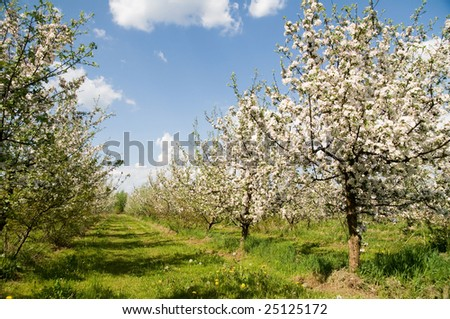 Blooming apple tree - stock photo