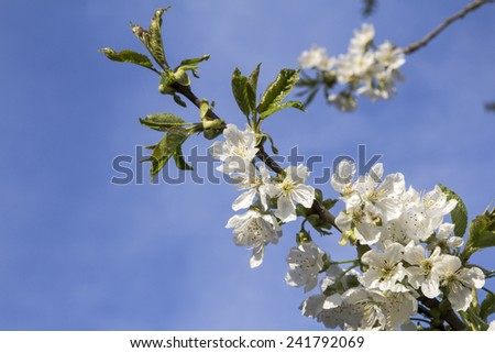 Blooming apple tree; beautiful white blossoms against blue sky - stock photo