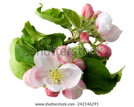 Blooming apple tree branch - stock photo