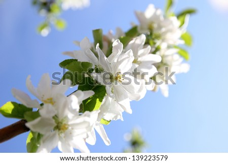 blooming apple tree branches against the blue sky - stock photo