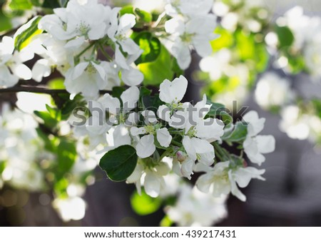 Blooming apple tree in spring selective focus - stock photo