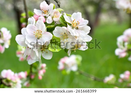 Blooming apple tree in spring time. - stock photo