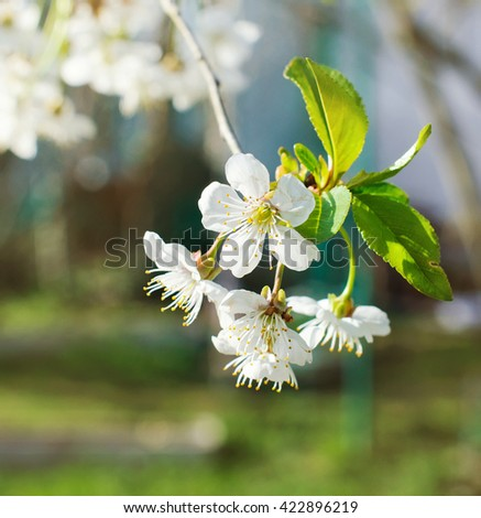 Blooming apple tree in spring time. Spring. - stock photo