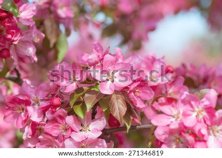 Blooming apple tree in the spring garden - stock photo