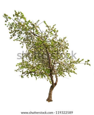 blooming apple tree isolated on white background - stock photo