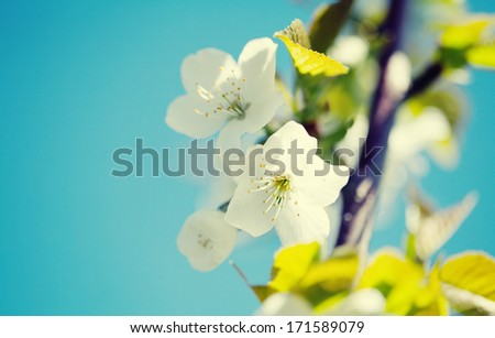 blooming apple tree on blue sky background with Small Depth of Field (DOF)  - stock photo