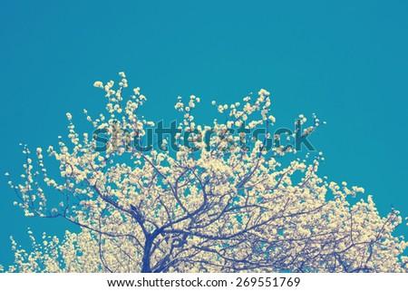 Blooming apple-tree tops  - instagram style - stock photo