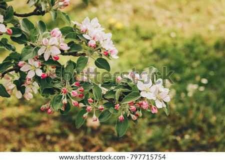 Blooming apple tree large white flowers beautiful stock photo blooming apple tree with large white flowersautiful natural seasonsl background with apple trees flowers mightylinksfo