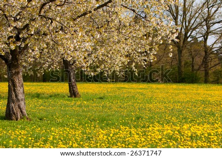 Blooming apple trees and dandelions on a sunny spring day. - stock photo