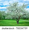blooming apple trees garden in overcast day - stock photo