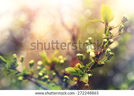 blooming apricot tree branch  - stock photo