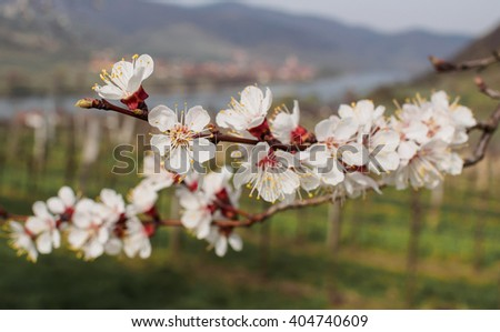 Blooming Apricot Trees near Krems in Wachau UNESCO Region in Lower Austria near Danube river.